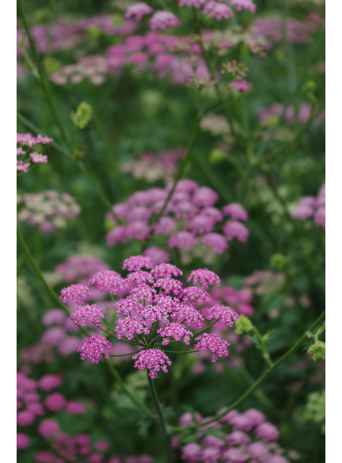 Pimpinella major 'Rosea' (Di Faggio)