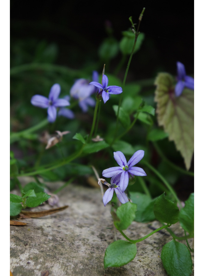 Pratia pedunculata 'County Park'