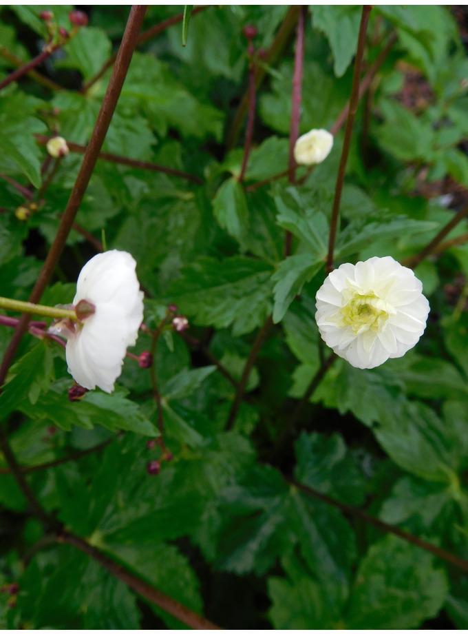 Ranunculus aconitifolius 'Flore Pleno' (different form)