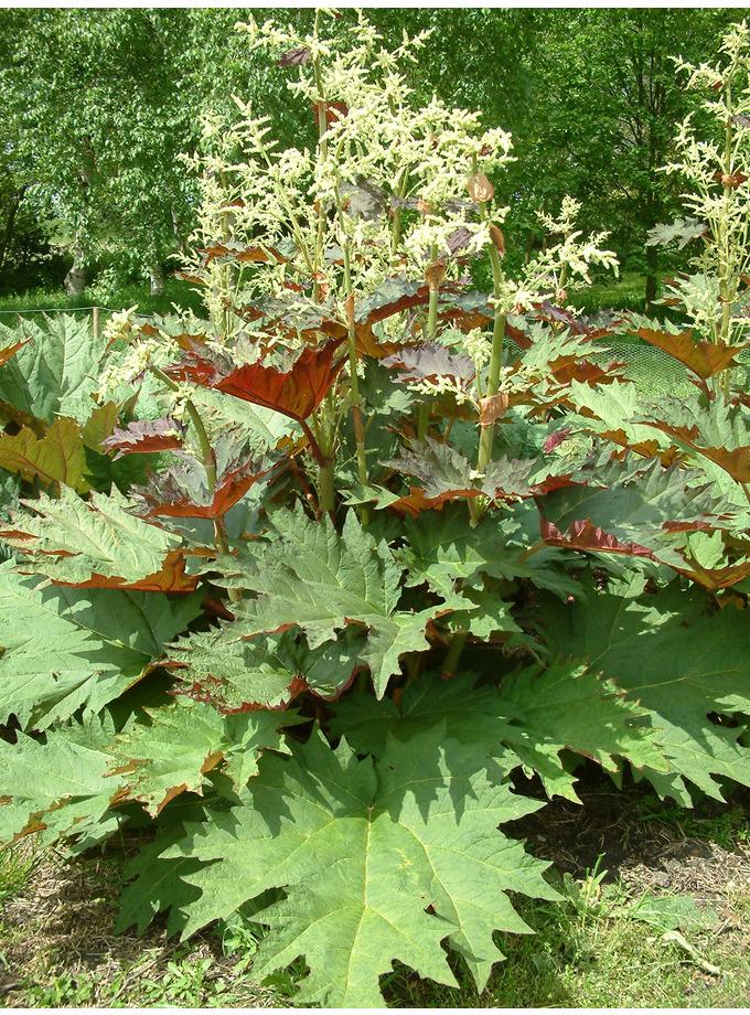 Rheum palmatum var. tanguticum