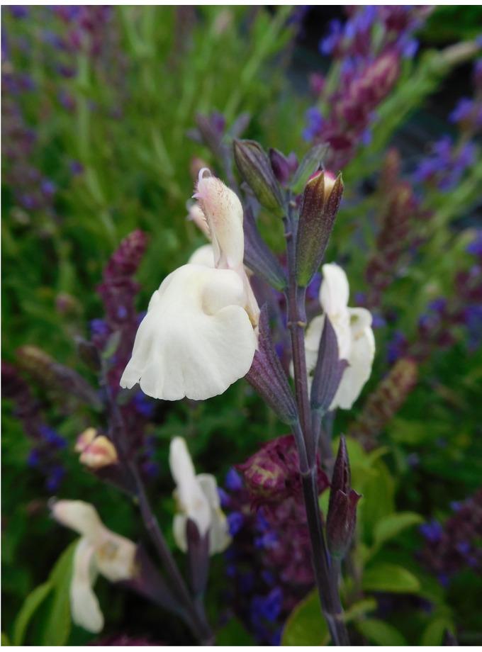 Salvia × jamensis 'Heatwave Glimmer'