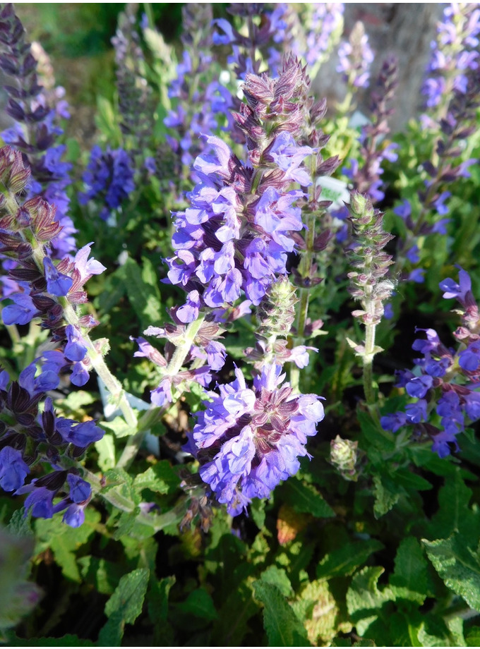 Salvia nemorosa Marcus = 'Haeumanarc'