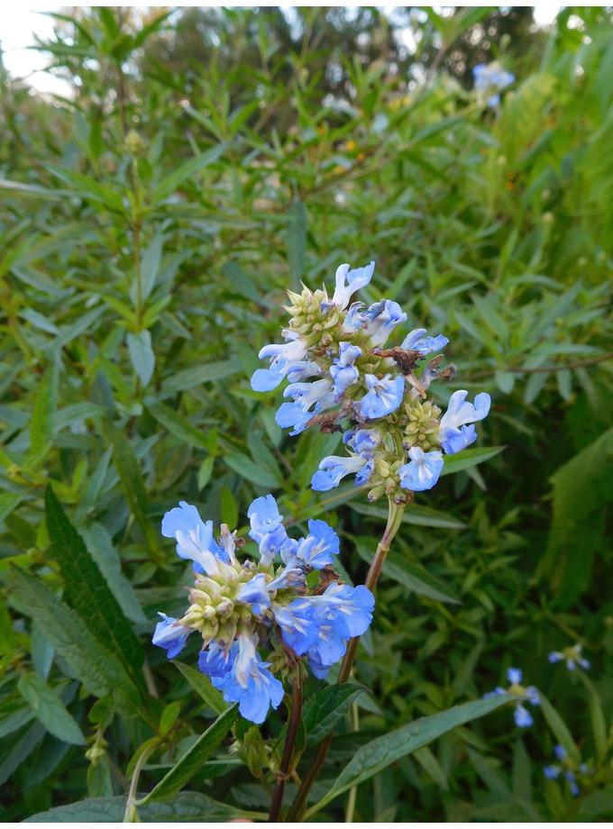 Salvia uliginosa 'Ballon Azul'