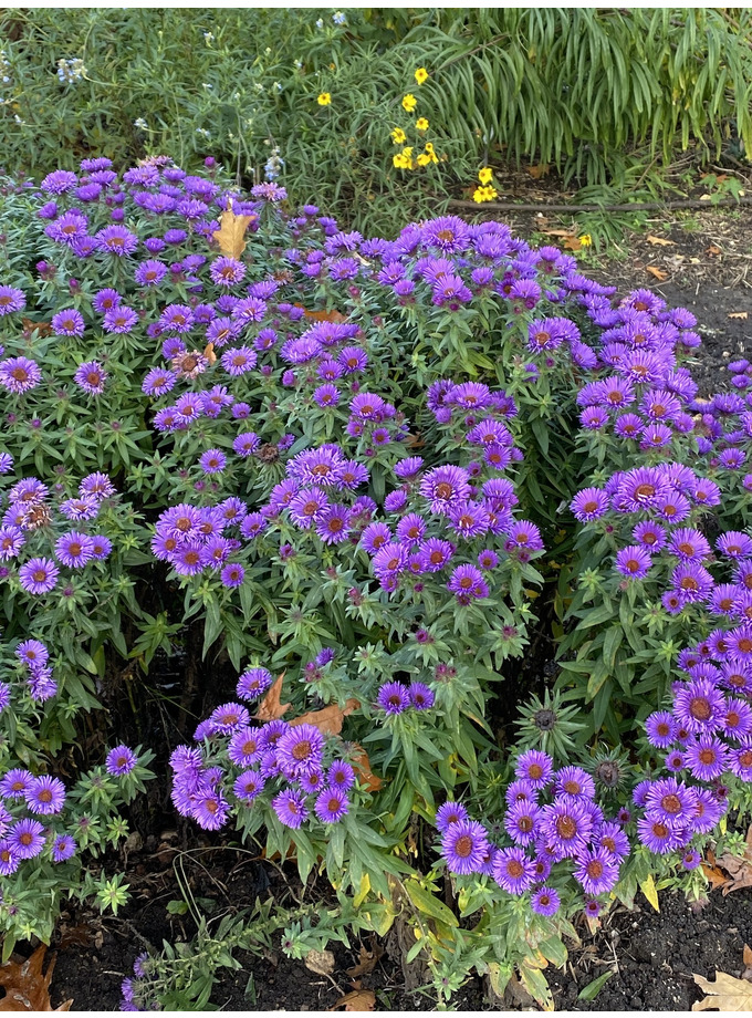 Symphyotrichum novi-belgii 'Purple Dome'
