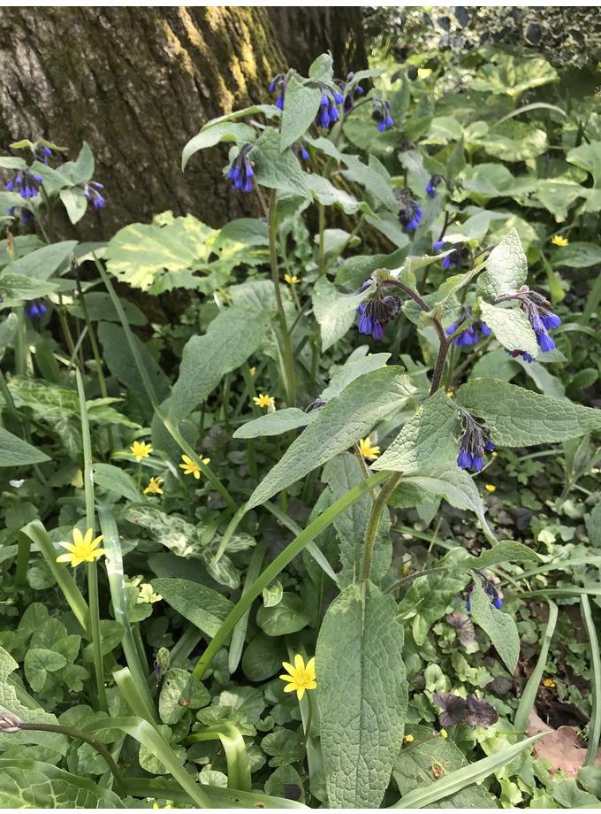 Symphytum caucasicum