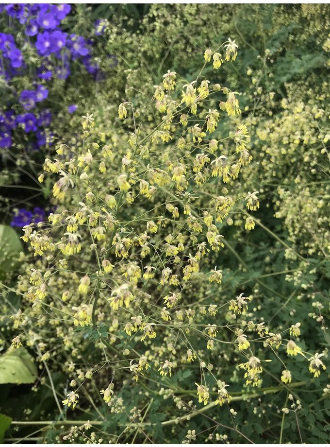 Thalictrum minus 'Adiantifolium'