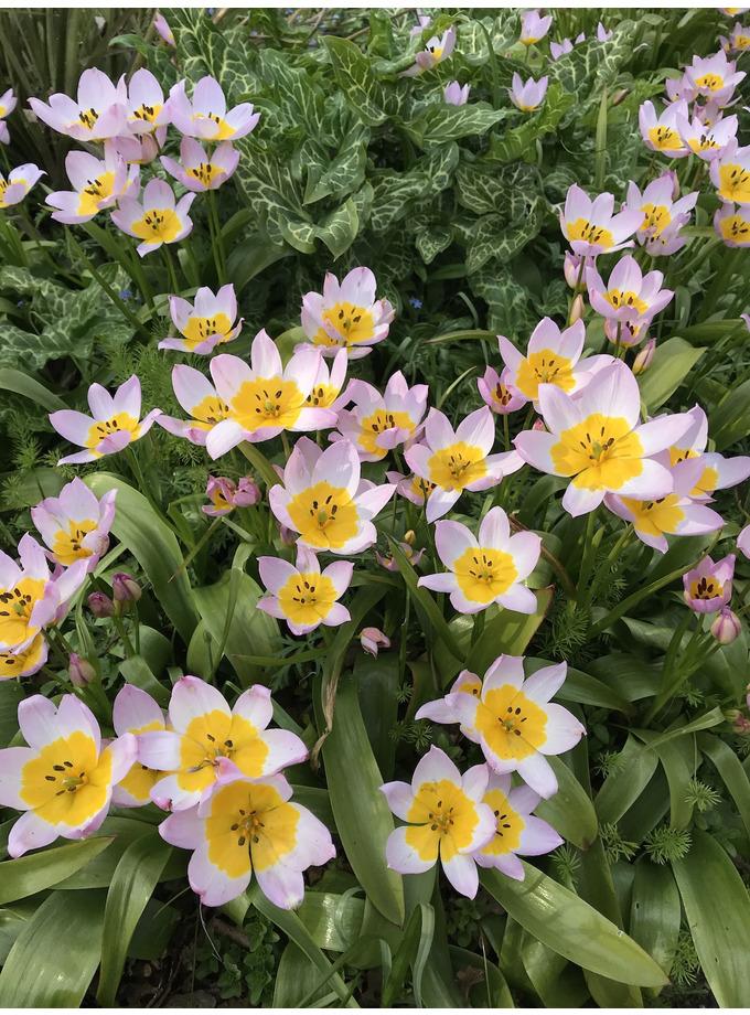 Tulipa saxatilis (Bakeri Group) 'Lilac Wonder'