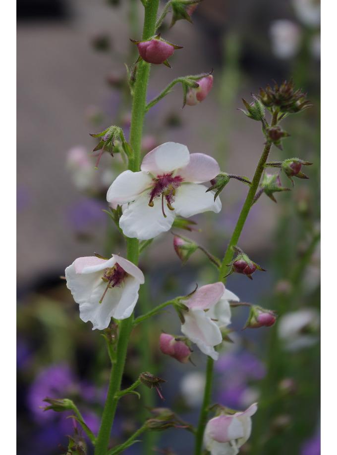 Verbascum blattaria f. albiflorum