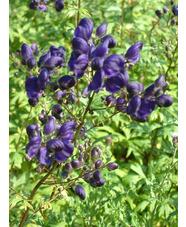 Aconitum 'Spark's Variety'