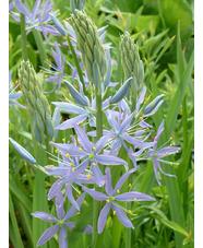 Camassia leichtlinii subsp. suksdorfii 'Electra'