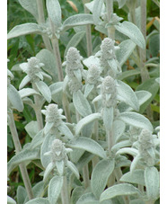 Stachys byzantina 'Cotton Boll'