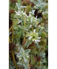 Marrubium libanoticum