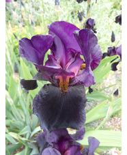 Iris 'Black Swan'