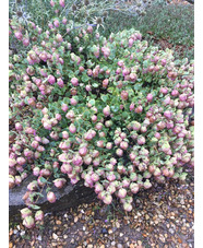 Origanum rotundifolium 'Jan's Pink'