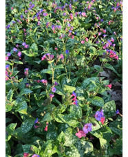 Pulmonaria saccharata 'Reginald Kaye'