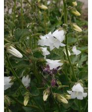 Campanula alliariifolia