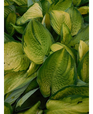 Hosta 'Gold Standard' (fortunei)