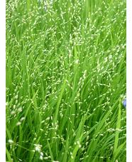 Melica uniflora f. albida