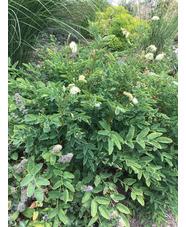 Sanguisorba obtusa white-flowered