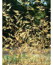 Stipa gigantea 'Gold Fontaene'