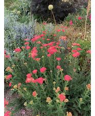 Achillea millefolium 'Lansdorferglut'