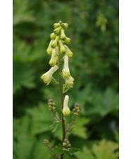 Aconitum lycoctonum subsp. vulparia