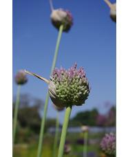 Allium 'Summer Drummer'