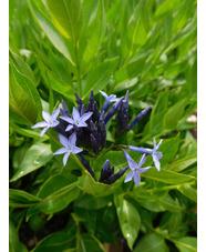 Amsonia 'Blue Ice'