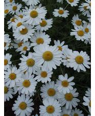Anthemis punctata subsp. cupaniana