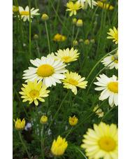 Anthemis tinctoria 'Wargrave Variety'