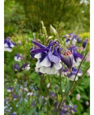 Aquilegia vulgaris 'Adelaide Addison'