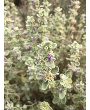 Ballota pseudodicatamnus ex Crete