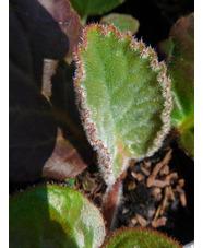Bergenia ciliata