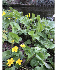 Caltha palustris var. palustris