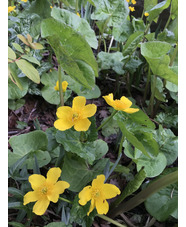 Caltha palustris var palustris