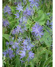 Camassia leichtlinii Violet-blue form