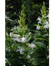 Campanula latifolia var. macrantha  'Alba'