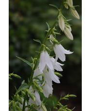 Campanula rapunculoides 'Alba'
