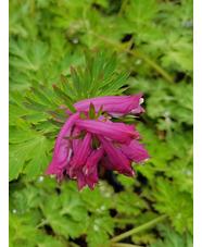 Corydalis anthriscifolia