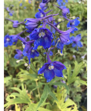 Delphinium (Belladonna group) 'Piccolo'