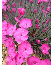 Dianthus bright pink