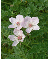 Erodium chrysanthum - pink flowered