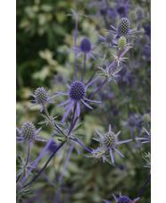 Eryngium planum 'Blaukappe'