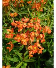 Euphorbia griffithii 'Fireglow'