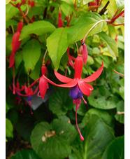 Fuchsia 'Genii'