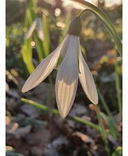 Galanthus 'Limetree' x 3 bulbs