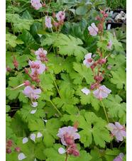 Geranium macrorrhizum 'Cham-Ce'