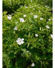 Geranium x oxonianum 'Westacre White'