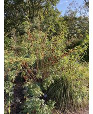 Glycyrrhiza yunnanensis