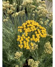 Helichrysum italicum 'Dartington'